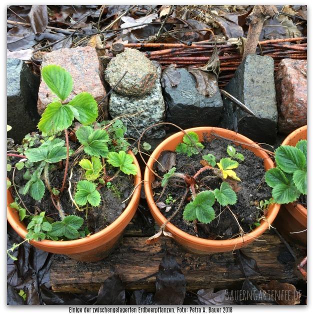 Zwischengelagerte Erdbeeren und ein bisschen was zum biologischen Gärtnern