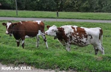 Schweizer Kühe. Leider nicht passsend zum Outfit ;-)